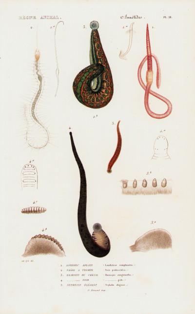Le règne animal distribué d'après son organisation, pour servir de base à l'histoire naturelle des animaux, et d'introduction à l'anatomie comparée. Les ARACHNIDES-les ANNÉLIDES. Volume de texte + atlas.