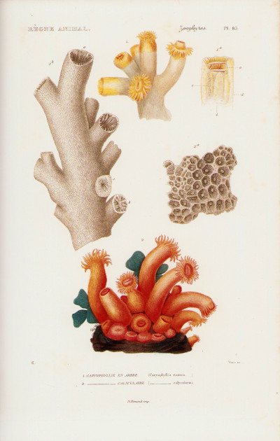 Le règne animal distribué d'après son organisation, pour servir de base à l'histoire naturelle des animaux, et d'introduction à l'anatomie comparée. Les ZOOPHYTES. Volume de texte + atlas.