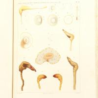 Études sur le Phylloxera Vastatrix.